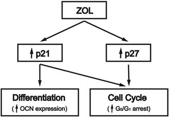 Zoledronate induces cell cycle arrest and differentiation