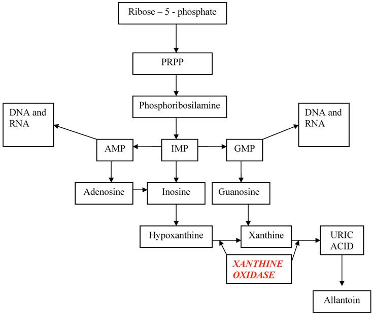 Uric Acid Pathway Rasburicase represents...