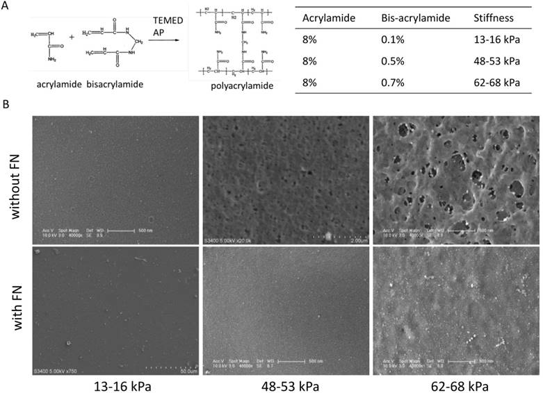 Effects of Matrix Stiffness on the Morphology, Adhesion