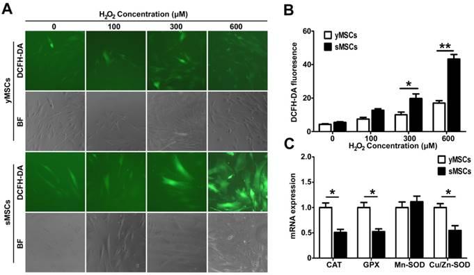 The replicative senescent mesenchymal stem / stromal cells